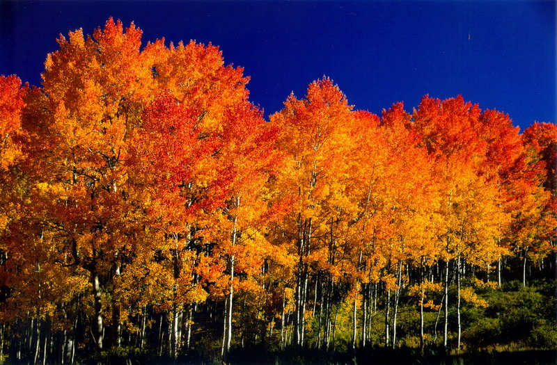 Image result for images aspen groves